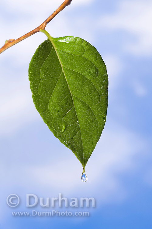 A green leaf with rain water.