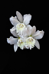 Cattleya, white #14