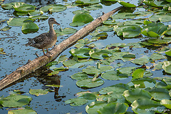 United States, Washington, Kirkland, duck and lilypads in Juanita Beach Park