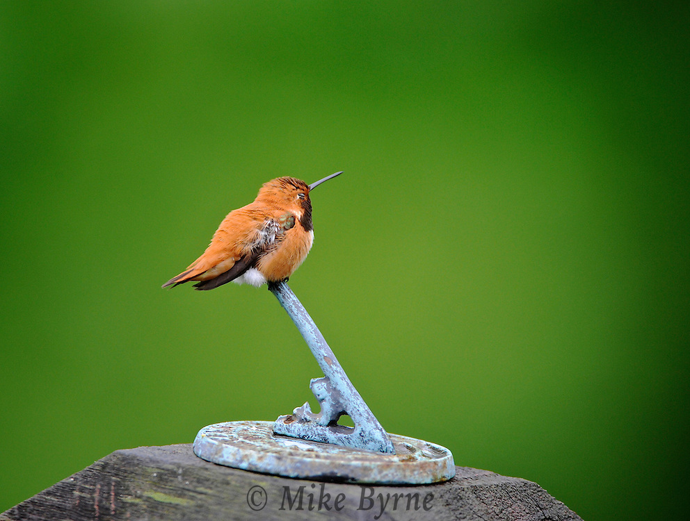 Rufous Hummingbird. (Selasphorus rufus), Courtenay, British Columbia, Canada, Isobel Springett