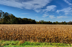 31 July 2015:   A cornfield is ready for harvest .  The ears have dropped and the stalks turned a golden brown.<br /> <br /> <br /> This image was produced in part utilizing High Dynamic Range (HDR) processes.  It should not be used editorially without being listed as an illustration or with a disclaimer.  It may or may not be an accurate representation of the scene as originally photographed and the finished image is the creation of the photographer.