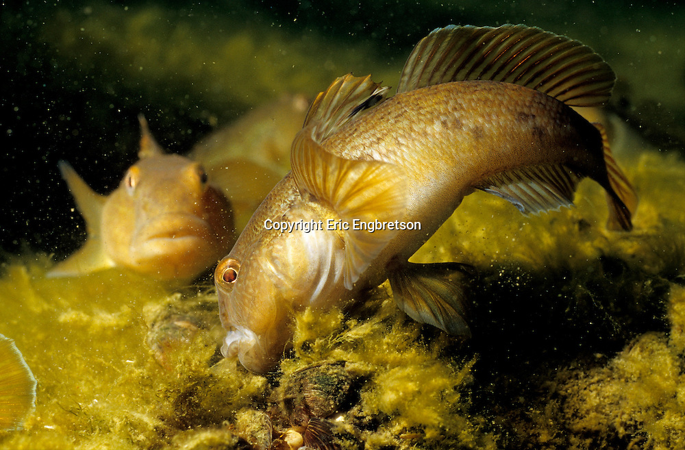 Round Goby Eating a zebra mussel (Lake Michigan)<br />