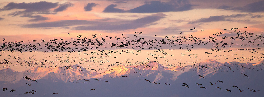 Thousands of sandhill cranes and Canada geese take to the air at once to head back to the wetlands after a day of foraging.