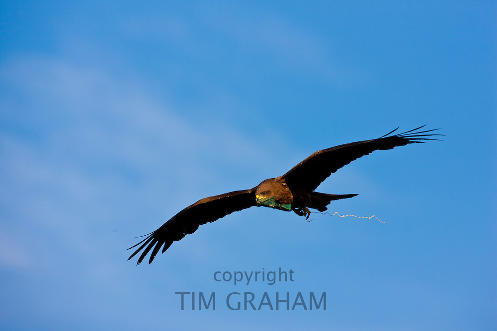 Indian Black Kite raptor bird, Milvus Migrans, with material for nest, in the sky above Lake Pichola, early morning, Udaipur, Rajasthan, India