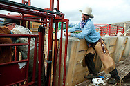 PRICE CHAMBERS / NEWS&amp;GUIDE<br /> Veternarian Ken Griggs checks each calf for pregnancy as Chase Lockhart keeps a record of the inspection on weening day at Lockhart Cattle Company.