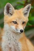 Red Fox, Vulpes vulpes, kit, Iosco County, Michigan