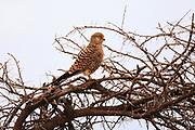 Greater Kestrel (alt. White-eyed Kestrel), belongs to Falcons, Större Tornfalk, Falco Rupicoloides