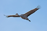 Bosque del Apache National Wildlife Refuge, New Mexico, a Sandhill Crane (Grus canadensis) in flight