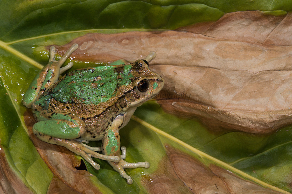 Andean Marsupial tree frog(Gastrotheca riobambae)<br /> CAPTIVE<br /> Central & north Ecuador<br /> ECUADOR. South America<br /> Threatened species due to habitat loss<br /> RANGE: Ecuador<br /> Andean & inter andean valleys north & central Ecuador. 2,200-3,500m.<br /> Endangered declining population