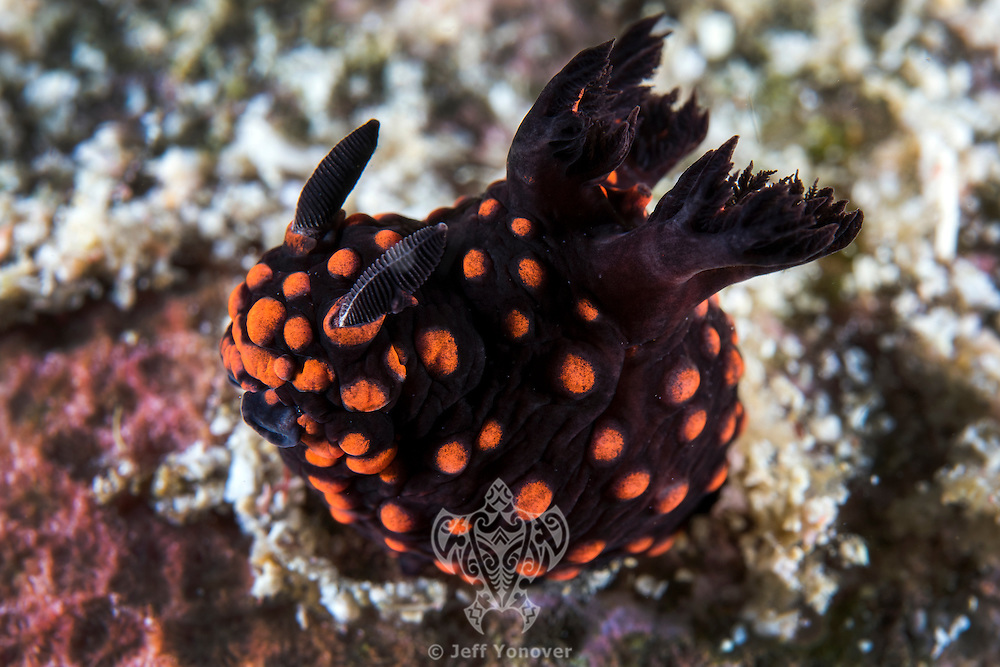 A colorful Nudibranch raises its mouth and rhinophores<br /> <br /> Shot in Raja Ampat Marine Protected Area West Papua Province, Indonesia