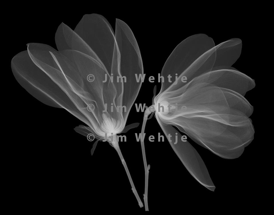 X Ray Image Of Magnolia Flowers Magnolia White On Black Jim Wehtje