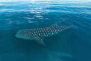 El tiburón ballena (Rhincodon typus) es una especie de elasmobranquio orectolobiforme, único miembro de la familia Rhincodontidae y del género Rhincodon. Es el pez más grande del mundo, con aproximadamente 12 m de longitud. Habita en aguas cálidas tropicales y subtropicales. Se cree que habita la Tierra desde hace sesenta millones de años.<br /> <br /> Habita en los océanos y mares cálidos, cerca de los trópicos. Se cree que son peces pelágicos, pero en determinadas temporadas migran grandes distancias hacia zonas costeras, como Ningaloo Reef en Australia Occidental, Utila en Honduras, Donsol y Batangas en Filipinas, la isla de Holbox en el estado de Quintana Roo, las penínsulas de Yucatàn y Baja California, México, las islas del archipiélago de Zanzíbar (Pemba y Unguja), en la costa de Tanzania, en Coiba y en el Archipiélago de las Perlas en Panamá<br /> <br /> Es el objetivo de la pesca artesanal y de la industria pesquera en varias zonas costeras donde se deja ver ocasionalmente. La población de esta especie es desconocida, pero está considerada por la UICN como una especie en estado vulnerable. <br /> <br /> Será prohibida y penada toda pesca, venta, importación y exportación de tiburones ballena para propósitos comerciales. En Filipinas se aplica esta ley desde 1998,15 y en Taiwán desde mayo de 2007,16 país donde cada año se mataban aproximadamente 100 ejemplares.<br /> <br /> ©Alejandro Balaguer/Fundación Albatros Media.