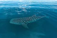 El tibur&oacute;n ballena (Rhincodon typus) es una especie de elasmobranquio orectolobiforme, &uacute;nico miembro de la familia Rhincodontidae y del g&eacute;nero Rhincodon. Es el pez m&aacute;s grande del mundo, con aproximadamente 12 m de longitud. Habita en aguas c&aacute;lidas tropicales y subtropicales. Se cree que habita la Tierra desde hace sesenta millones de a&ntilde;os.<br /> <br /> Habita en los oc&eacute;anos y mares c&aacute;lidos, cerca de los tr&oacute;picos. Se cree que son peces pel&aacute;gicos, pero en determinadas temporadas migran grandes distancias hacia zonas costeras, como Ningaloo Reef en Australia Occidental, Utila en Honduras, Donsol y Batangas en Filipinas, la isla de Holbox en el estado de Quintana Roo, las pen&iacute;nsulas de Yucat&agrave;n y Baja California, M&eacute;xico, las islas del archipi&eacute;lago de Zanz&iacute;bar (Pemba y Unguja), en la costa de Tanzania, en Coiba y en el Archipi&eacute;lago de las Perlas en Panam&aacute;<br /> <br /> Es el objetivo de la pesca artesanal y de la industria pesquera en varias zonas costeras donde se deja ver ocasionalmente. La poblaci&oacute;n de esta especie es desconocida, pero est&aacute; considerada por la UICN como una especie en estado vulnerable. <br /> <br /> Ser&aacute; prohibida y penada toda pesca, venta, importaci&oacute;n y exportaci&oacute;n de tiburones ballena para prop&oacute;sitos comerciales. En Filipinas se aplica esta ley desde 1998,15 y en Taiw&aacute;n desde mayo de 2007,16 pa&iacute;s donde cada a&ntilde;o se mataban aproximadamente 100 ejemplares.<br /> <br /> &copy;Alejandro Balaguer/Fundaci&oacute;n Albatros Media.