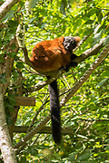 Red Ruffed Lemur from Madagascar, Varecia rubra, endangered species climbing tree in rainforest type habitat at Jersey Zoo - Durrell Wildlife Conservation Trust, Channel Isles