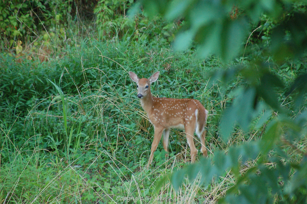 This fawn appeared across the brook from our back yard.  Mom was not far away.  Hillsborough, NJ.