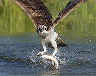 Osprey flies up from pond after catching a trout, © 2015 David A. Ponton