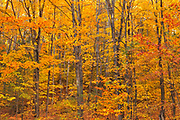 Deciduous forest of sugar maple trees (Acer saccharum) in Autumn foliage, Near Rosseau, Ontario, Canada