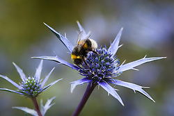 Bee on Eryngium bourgatii Blue Form. Sea holly
