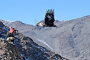 An eagle hunter demonstrates his eagle's hunting skills for spectators at the annual Eagle Hunting Festival which celebrates Kazakh culture, Bayan Olgi, Mongolia, Oct 2, 2004.  Kazakhs have hunted with eagles for centuries.  The Eagle Hunting Festival has revived Kazakh culture which was surpressed under Soviet rule.