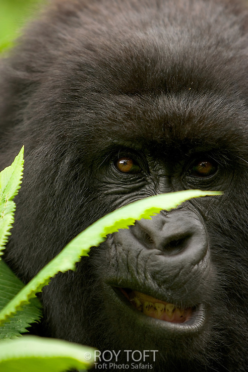 The critically endangered Mountain Gorilla (Gorilla gorilla beringei) looking through leaves, Rwanda, Africa