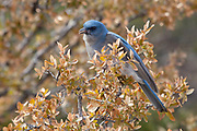 Mexican Jay, Chiricahua National Monument, Arizona