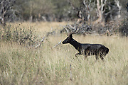 Black Impala ram<br /> Exotic Game Breeders / Eden Farm<br /> Limpopo Province<br /> South Africa