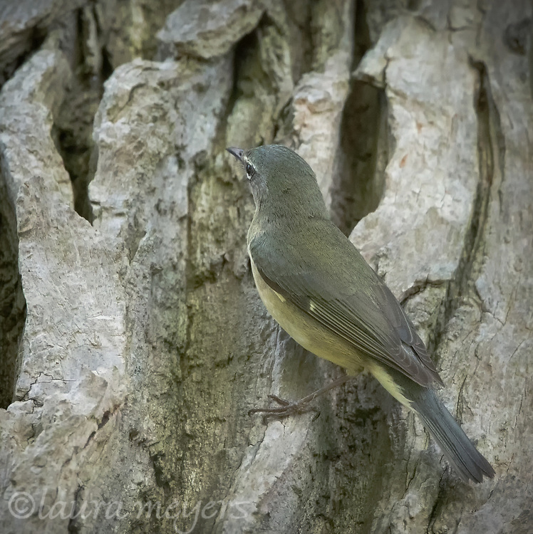 Female Black-throated Blue Warbler on tree trunk at Magee Marsh in Ohio.