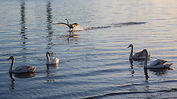 © Licensed to London News Pictures. 14/04/2015. Swans spotted in the morning light on the Thames at Gravesend. Tuesday 14th April got started with a deep Turneresque sky over the Thames estuary. Several days of good weather are predicted and Gravesend is often the location where the highest temperatures are recorded. Credit : Rob Powell/LNP