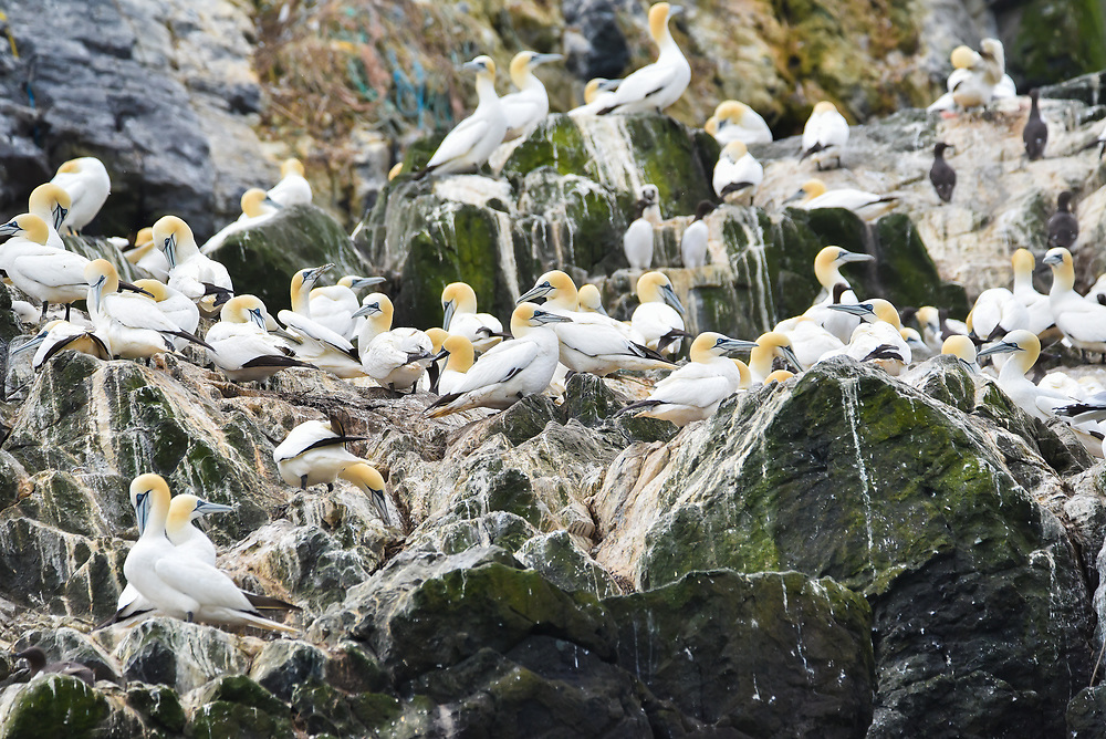 Gannets, Grassholm<br /> Grassholm National Nature Reserve is the third most important site for gannets in the world, after two sites in Scotland; St Kilda and Bass Rock . It serves as a breeding site for 39,000 pairs of the birds, and supports around 10 percent of the world population.