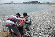 SHENZHEN, CHINA - NOVEMBER 05: (CHINA OUT) <br /> Mass Fish Death In China<br /> <br /> Workers collect dead fish in a lake at Minghu Park on November 5, 2013 in Shenzhen, Guangdong Province of China. It is suspected that some 7,500 kilograms of fish were killed by industrial and domestic sewage discharged into the lake.<br /> ©Exclusivepix