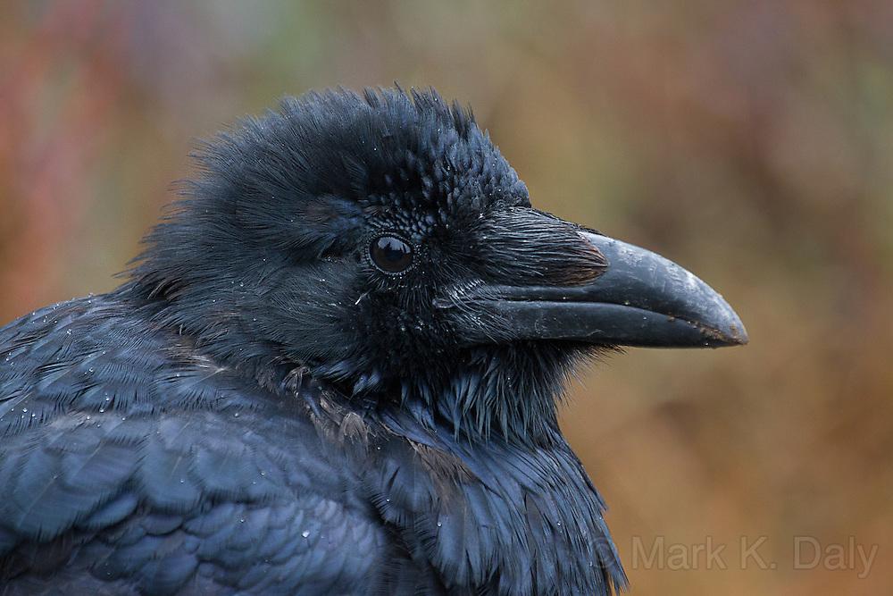 Common Raven (juvenile)