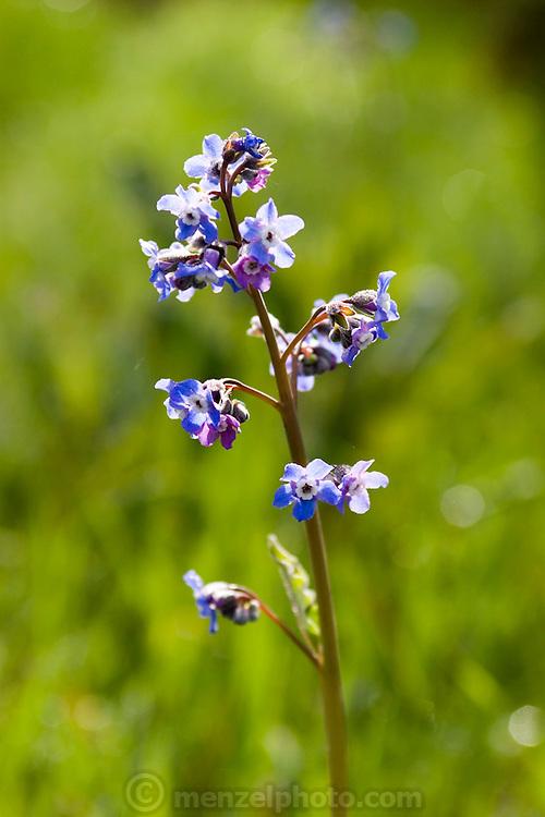 Wildflower at Skyline Park, Wilderness Park, Napa Valley, California, USA.