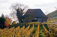 Vineyard and old timbered barn in Singen, Germany in Autumn in beautiful autumnal colors.
