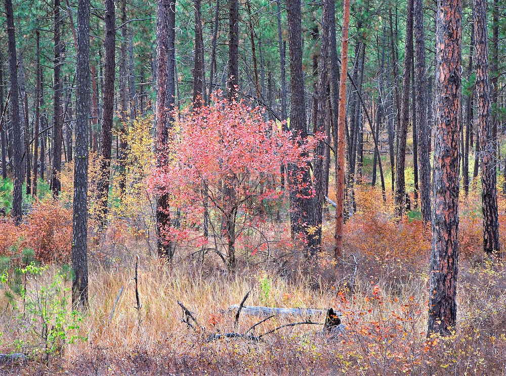 single red autumn tree in ponderosa pine forest, Spokane, WA.