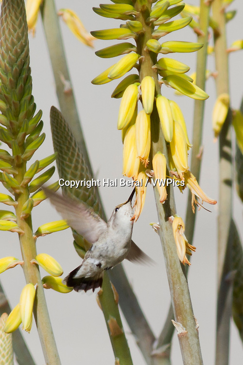 Costa's Hummingbird feeding on a flower.(Calypte costae).Los Cabos,Mexico