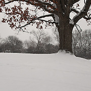 """""""Once Upon a Hill""""<br /> <br /> A lovely old Oak tree on a snow covered hill!! The tree is covered in snow as her dried and brown leaves still cling to their branches!!<br /> <br /> Winter in Michigan by Rachel Cohen Winter in Michigan!<br /> <br /> Beautiful winter scenes, winter wonderlands, and lone trees in winter!<br /> <br /> Images in color, B&W, and using selective color.<br /> <br /> If you love winter, snow, trees, rolling hills, and lone trees then you'll find a lovely selection!! <br /> <br /> Winter in Michigan by Rachel Cohen"""