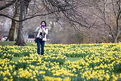 © Licensed to London News Pictures. 28/02/2017. London, UK. A woman takes a picture of blooming yellow daffodils in St James's Park London, an early sign of Spring. Photo credit: Rob Pinney/LNP