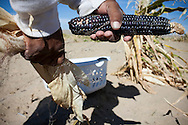 """"""" We have six different colors of corn. We have the yellow, blue, red, white, coma, which is a purple and sweet corn.  Blue and white corn are the most important.""""  Watson said.  """"White corn is used for making hominy stew.  We make stew for all the ceremonials, to bring all the people together."""""""