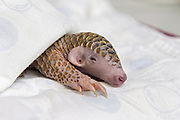 Chinese pangolin <br /> Manis pentadactyla<br /> Twelve-day-old orphaned baby (named Gung-wu) sleeping. Gung-wu is the offspring of parents rescued from poachers. <br /> Taipei Zoo, Taipei, Taiwan