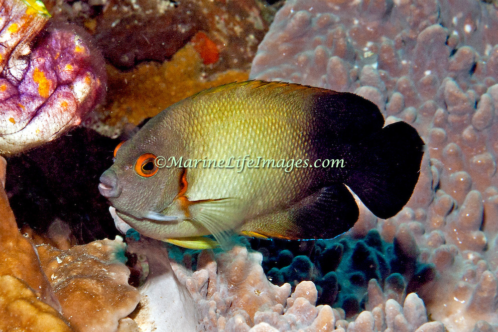 Pearl Scaled Angelfish inhabit reefs. Picture taken Lembeh Straits, Sulawesi, Indonesia