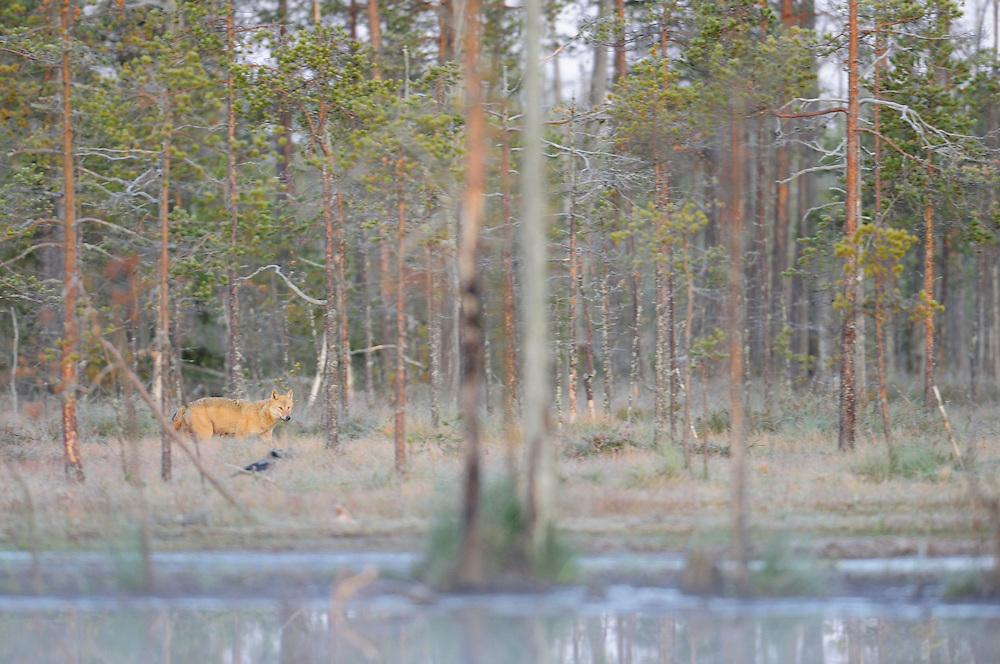 Eurasian wolf, Canis lupus in Kuhmo, Finland. .