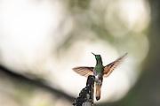 Buff-tailed Coronet hummingbird captured in Cloud Forest, Ecuador   Okerhalekolibri som sitter på en gren og flakser med vingene. Fotografert i Tropisk Regnskog i Ecuador, ca. 2290 moh.
