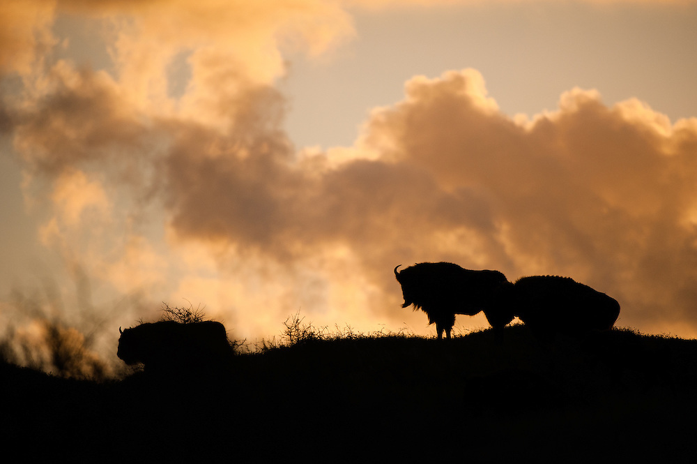 European Bison (Bison bonasus) herd on dune top during sunrise