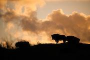 European Bison (Bison bonasus) herd on dune top during sunrise