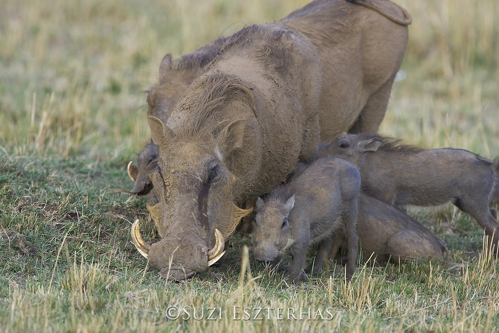 AFRICAN WART HOG <br /> Phacochoerus aethiopicus<br /> Mother and young piglets<br /> Masai Mara Reserve, Kenya