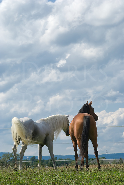 A mating pair of Arabian horses in their pasture, a stallion and bay mare look away under summer sky cloudscape.