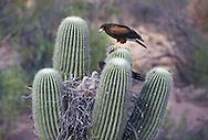 Harris Hawks feeding nestlings