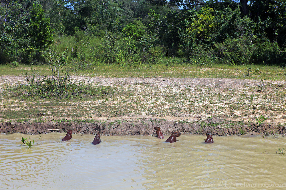 South America, Brazil, Pantanal. Capybara line the bank of a river in the Pantanal.