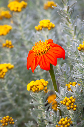Tithonia rotundifolia  - Mexican sunflower - with Helichrysum splendidum