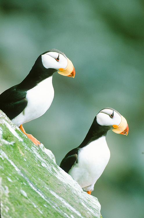 Two horned Puffins sit on a rocky ledge on St George Island in the Pribilofs.